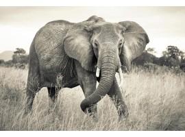 Fotomurale Elefante | TNT by Komar